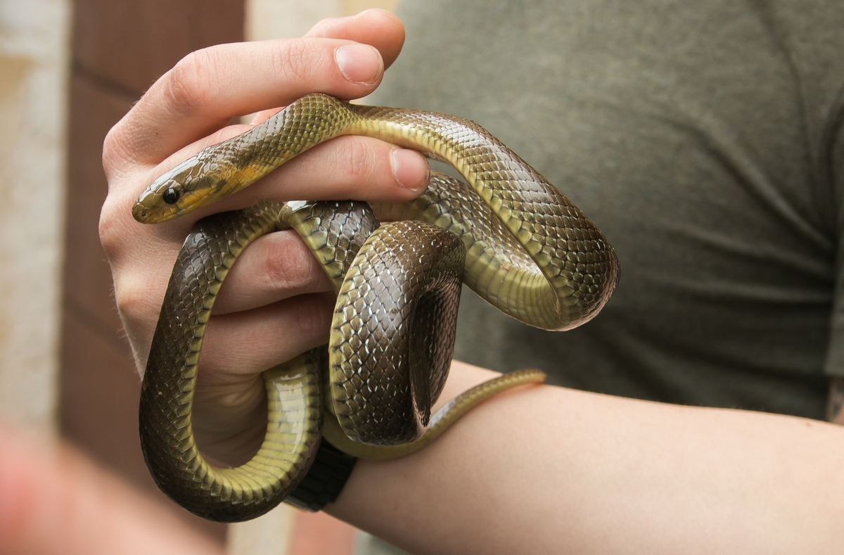 allevare una serpe in seno
