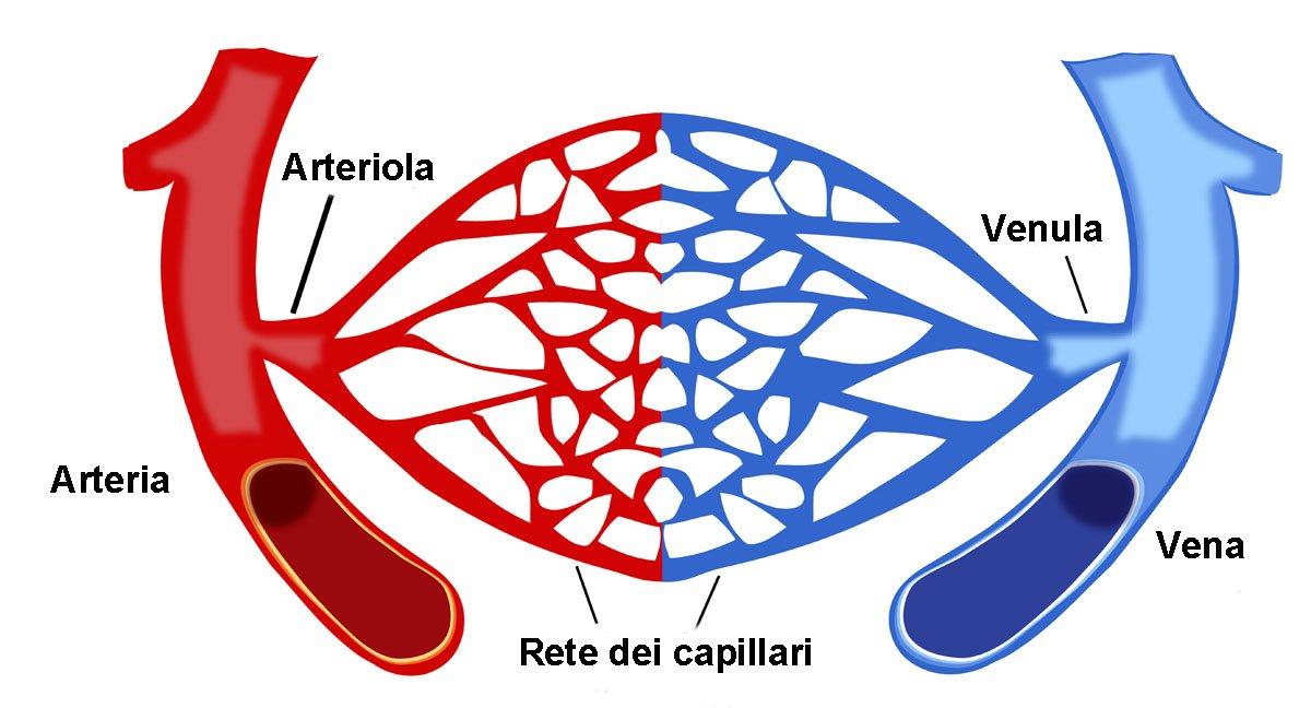 circolazione del sangue arterie vene