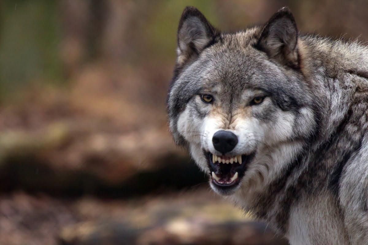 il lupo perde il pelo ma non il vizio - Significato