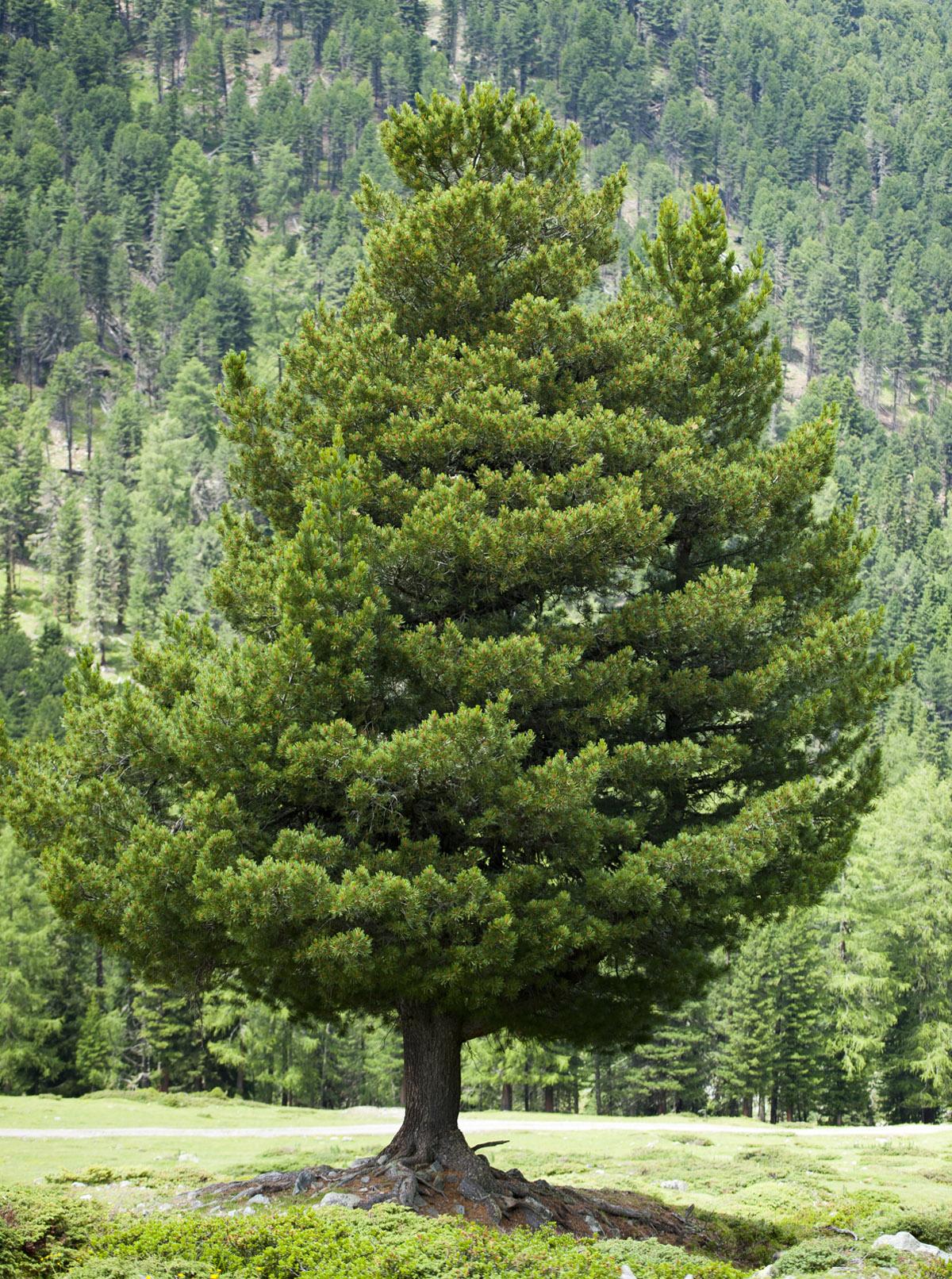 gimnosperme pino cembra
