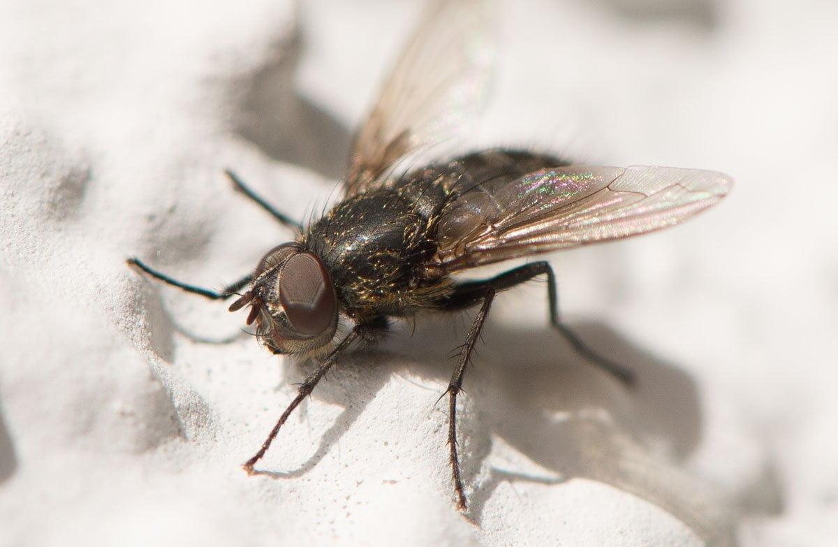 ditteri piccola mosca domestica