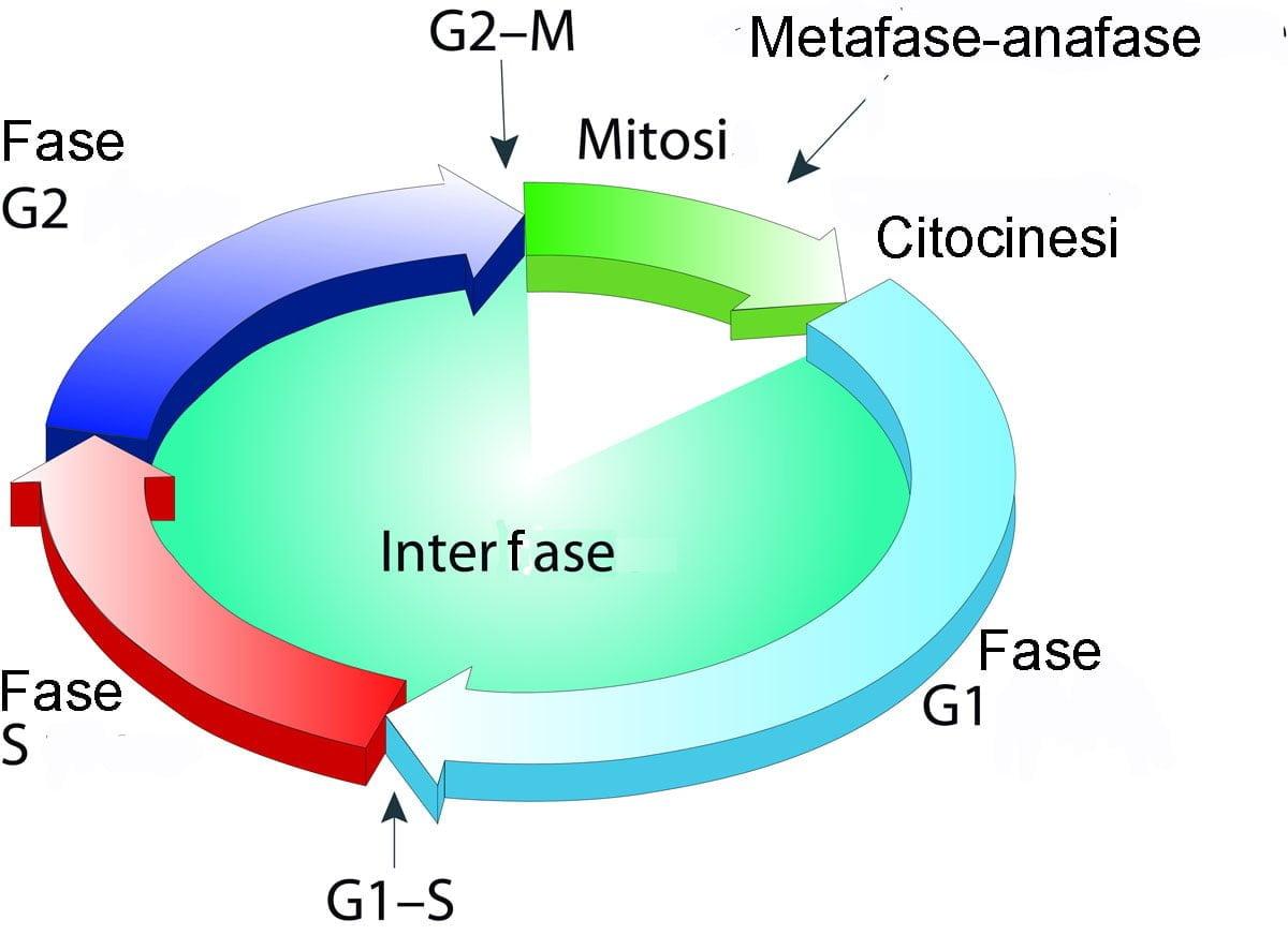 ciclo cellulare mitosi